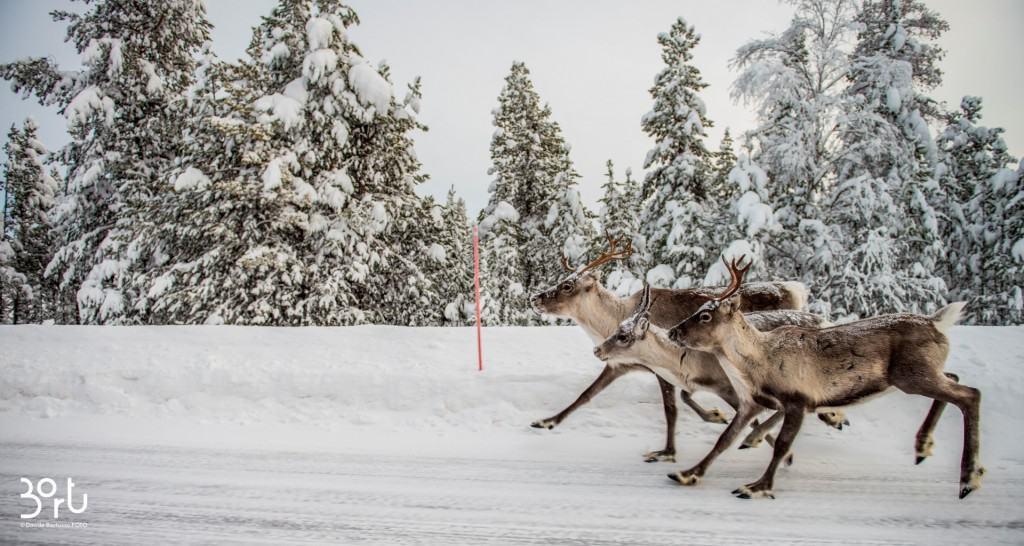renne, dettaglio renna, corrono, alberi, neve
