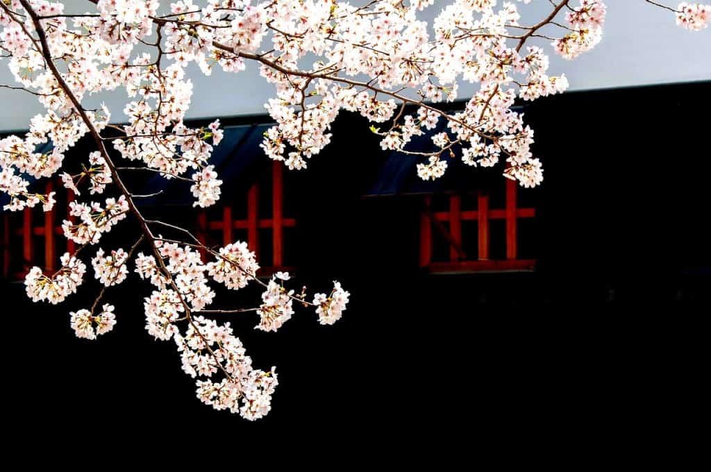 Cilegi Sakura in fiore a metà marzo
