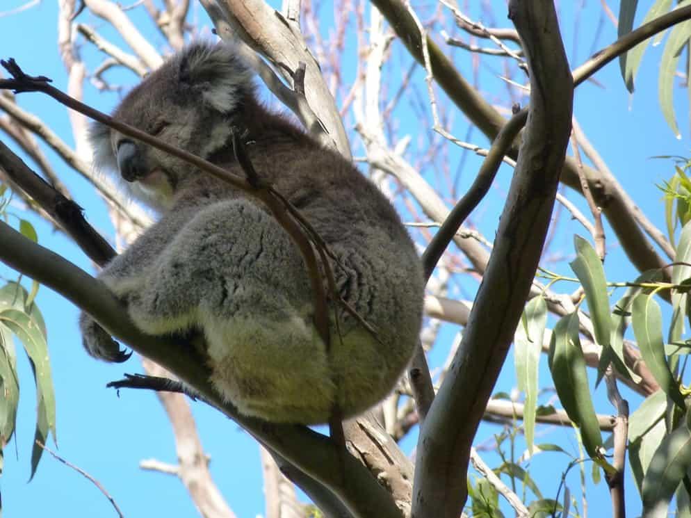 koala stupendo