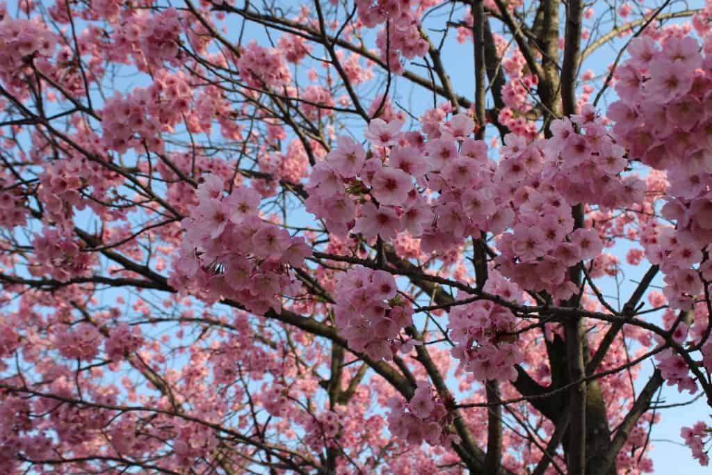 fiori ciliegio giappone