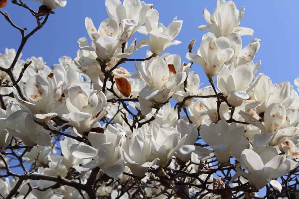 fiori ciliegio sakura