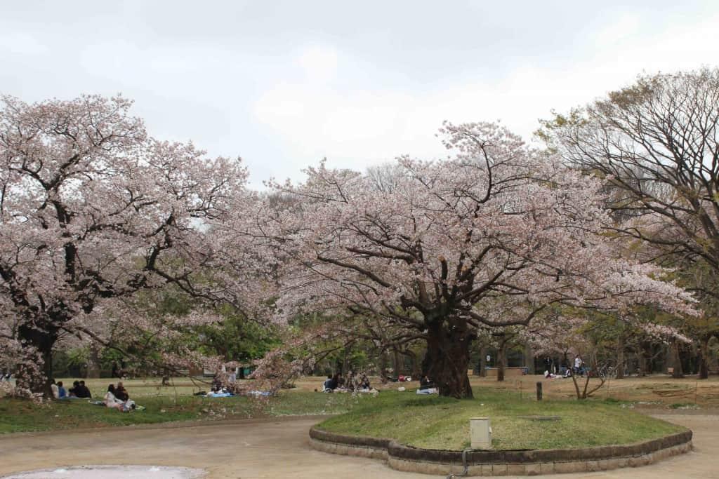 giardino fiorito sakura giappone