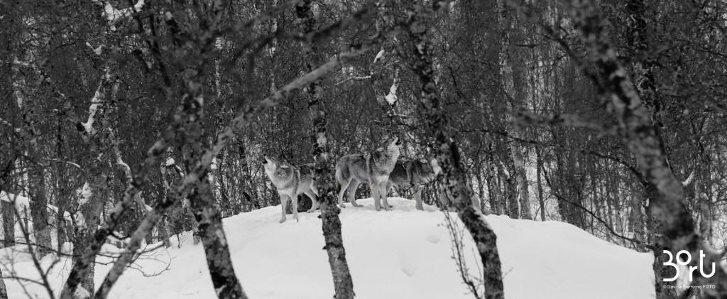 lapponia, animali, neve, nevicata