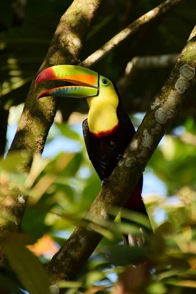 tucano, colori, uccello, costa rica