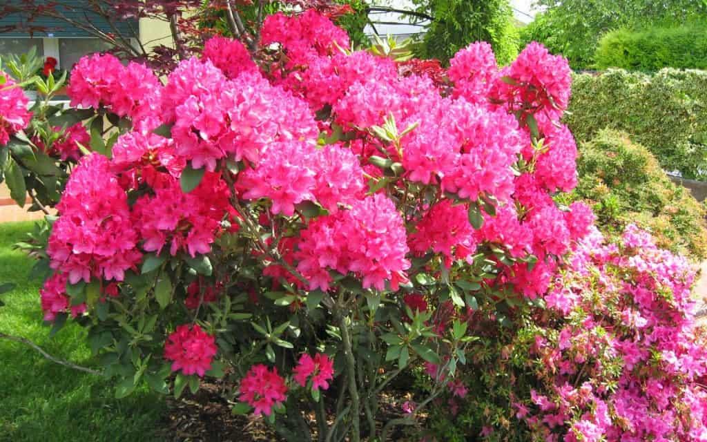 fiori, rosa, giardino, costa rica