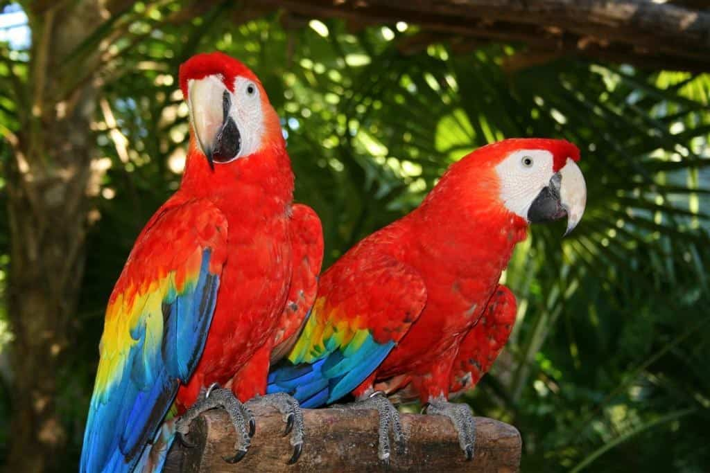 pappagallo, colori, costa rica