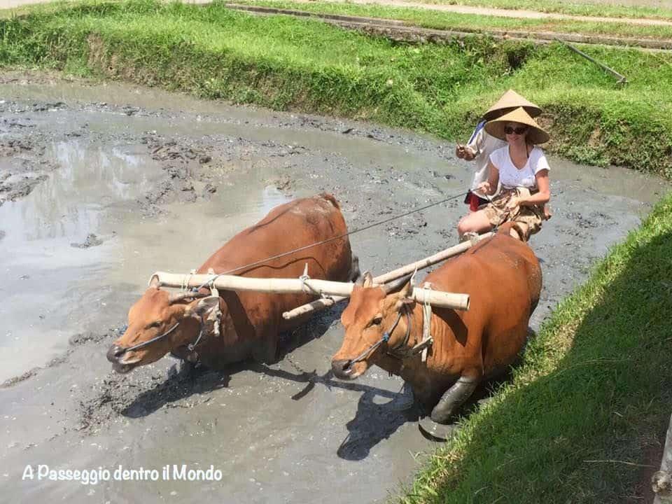 contadina balinese con mucche in risaia