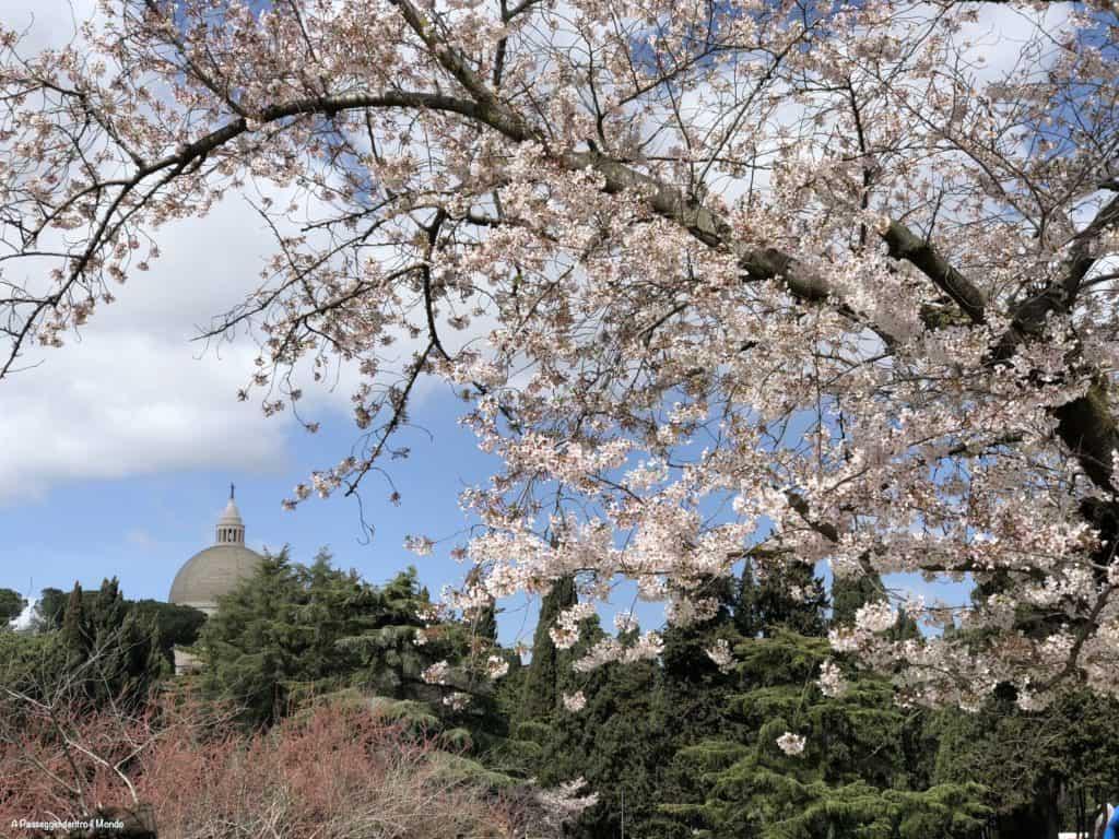 fioritura ciliegi al laghetto dell'Eur